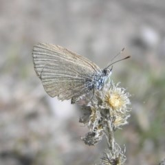 Zizina otis (Common Grass-blue) at Mount Taylor - 31 Mar 2018 by MatthewFrawley