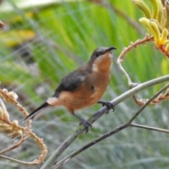 Acanthorhynchus tenuirostris (Eastern Spinebill) at ANBG - 1 Apr 2018 by RodDeb
