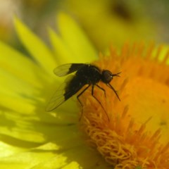 Geron nigralis (Slender bee fly) at ANBG - 1 Apr 2018 by MatthewFrawley