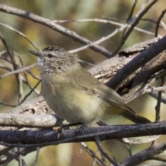 Acanthiza chrysorrhoa (Yellow-rumped Thornbill) at Majura, ACT - 2 Apr 2018 by jbromilow50