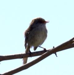 Malurus cyaneus at Jerrabomberra Wetlands - 27 Mar 2018