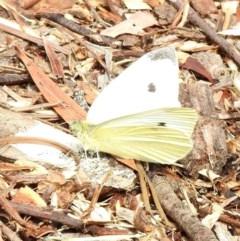 Pieris rapae (Cabbage White) at Aranda, ACT - 3 Apr 2018 by KMcCue