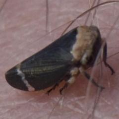 Eurymelessa moruyana (Gumtree Hopper) at Mount Ainslie - 2 Apr 2018 by jbromilow50