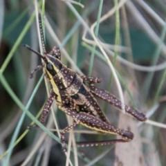 Monistria concinna (Southern Pyrgomorph, Southern Gaudy Grasshopper) at Namadgi National Park - 2 Apr 2018 by SWishart