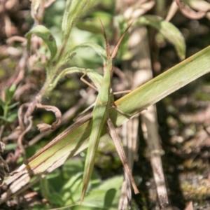 Acrida conica at Tidbinbilla Nature Reserve - 3 Mar 2018