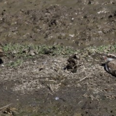 Elseyornis melanops (Black-fronted Dotterel) at Jerrabomberra Wetlands - 4 Apr 2018 by jbromilow50