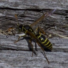 Polistes (Polistes) chinensis (Asian paper wasp) at Jerrabomberra Wetlands - 4 Apr 2018 by jbromilow50