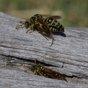 Polistes (Polistes) chinensis at Jerrabomberra Wetlands - 4 Apr 2018