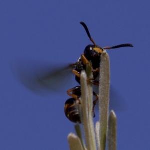 Eumeninae sp. (subfamily) at Jerrabomberra Wetlands - 4 Apr 2018