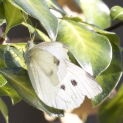 Pieris rapae (Cabbage White) at Ainslie, ACT - 3 Apr 2018 by jbromilow50