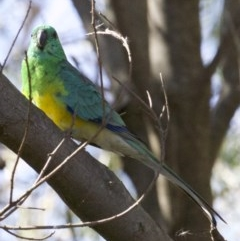 Psephotus haematonotus (Red-rumped Parrot) at Jerrabomberra Wetlands - 4 Apr 2018 by jbromilow50