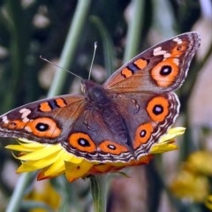 Junonia villida (Meadow Argus) at ANBG - 5 Apr 2018 by RodDeb