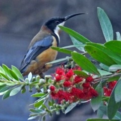 Acanthorhynchus tenuirostris (Eastern Spinebill) at ANBG - 5 Apr 2018 by RodDeb