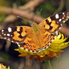 Vanessa kershawi (Australian Painted Lady) at ANBG - 5 Apr 2018 by RodDeb