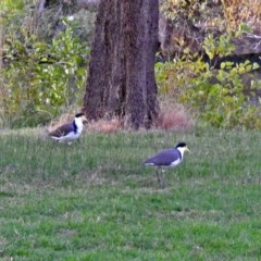 Vanellus miles (Masked Lapwing) at Lake Burley Griffin West - 5 Apr 2018 by RodDeb