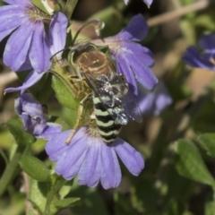Bembix sp. (genus) at Acton, ACT - 5 Apr 2018