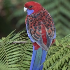 Platycercus elegans (Crimson Rosella) at ANBG - 5 Apr 2018 by Alison Milton