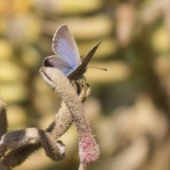 Zizina otis (Common Grass-blue) at ANBG - 5 Apr 2018 by Alison Milton