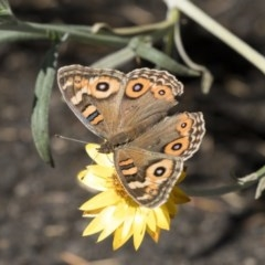 Junonia villida (Meadow Argus) at ANBG - 5 Apr 2018 by Alison Milton