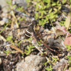 Villa sp. (genus) (Unidentified Villa bee fly) at ANBG - 5 Apr 2018 by Alison Milton