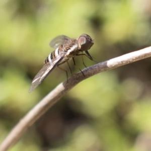 Villa sp. (genus) at Acton, ACT - 5 Apr 2018