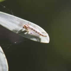 Chironomidae sp. (family) (Midge) at ANBG - 5 Apr 2018 by Alison Milton