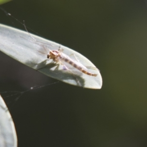 Chironomidae sp. (family) at Acton, ACT - 5 Apr 2018