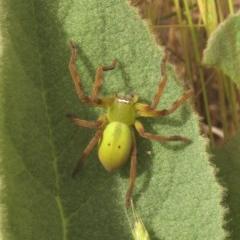 Neosparassus sp. (genus) (Unidentified Badge huntsman) at Namadgi National Park - 10 Dec 2011 by KMcCue