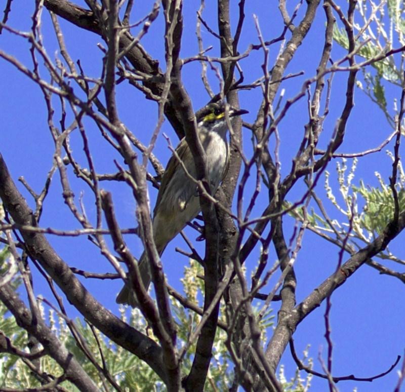 Caligavis chrysops at Jerrabomberra Wetlands - 4 Apr 2018