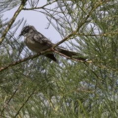 Rhipidura fuliginosa (Grey Fantail) at ANBG - 5 Apr 2018 by Alison Milton