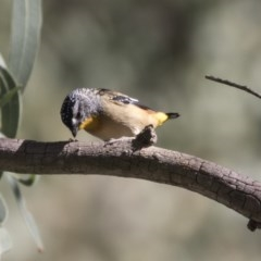 Pardalotus punctatus (Spotted Pardalote) at ANBG - 5 Apr 2018 by Alison Milton