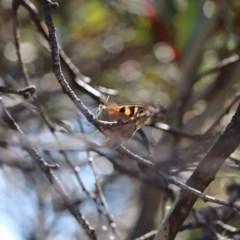 Heteronympha penelope (Shouldered Brown) at Kosciuszko National Park - 11 Mar 2018 by PeterR