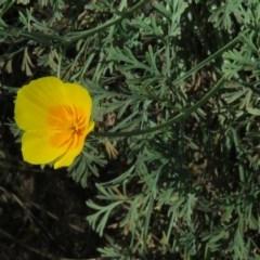 Eschscholzia californica (California Poppy) at Stony Creek - 7 Apr 2018 by KumikoCallaway