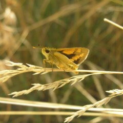 Ocybadistes walkeri (Greenish Grass-dart) at Kambah, ACT - 7 Apr 2018 by MatthewFrawley