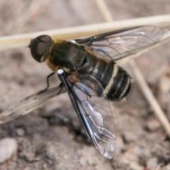 Villa sp. (genus) (Unidentified Villa bee fly) at Cooleman Ridge - 7 Mar 2018 by SWishart