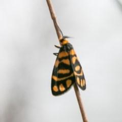 Asura lydia (Lydia Lichen Moth) at Chapman, ACT - 7 Mar 2018 by SWishart
