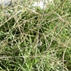 Chloris truncata (Windmill Grass) at Gang Gang at Yass River - 7 Apr 2018 by SueMcIntyre