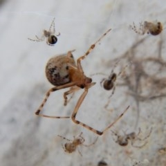 Theridiidae sp. (family) (Comb-footed spider) at Mount Painter - 5 Apr 2018 by CathB