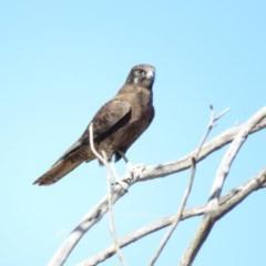Falco berigora (Brown Falcon) at Hoskinstown, NSW - 9 Apr 2018 by KumikoCallaway