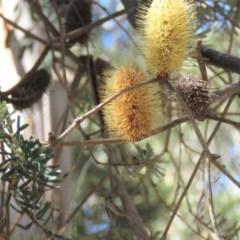 Banksia marginata (Banksia) at Palerang, NSW - 9 Apr 2018 by KumikoCallaway