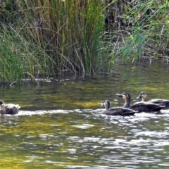 Anas superciliosa (Pacific Black Duck) at Cotter Reserve - 10 Apr 2018 by RodDeb