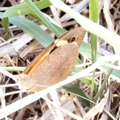 Heteronympha merope (Common Brown) at Red Hill Nature Reserve - 5 Apr 2018 by JackyF