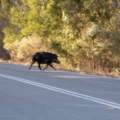 Sus scrofa (Feral Pig) at Paddys River, ACT - 11 Apr 2018 by ajc