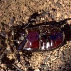 Aulacocyclus edentulus (Passalid beetle) at Mount Ainslie - 11 Apr 2018 by jbromilow50