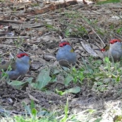 Neochmia temporalis (Red-browed Finch) at ANBG - 12 Apr 2018 by RodDeb