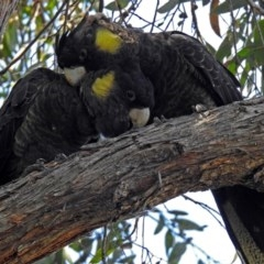Zanda funereus (Yellow-tailed Black-Cockatoo) at ANBG - 12 Apr 2018 by RodDeb