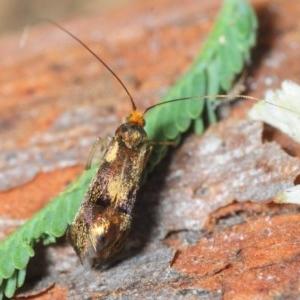 Nemophora sp. (genus) at Jerrabomberra Wetlands - 8 Apr 2018