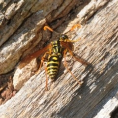 Polistes (Polistes) chinensis (Asian paper wasp) at Jerrabomberra Wetlands - 7 Apr 2018 by Harrisi