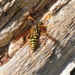 Polistes (Polistes) chinensis (Asian paper wasp) at Jerrabomberra Wetlands - 7 Apr 2018 by Harrisi