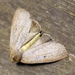 Paralaea porphyrinaria (Chestnut-veined Crest-moth) at O'Connor, ACT - 12 Apr 2018 by ibaird
